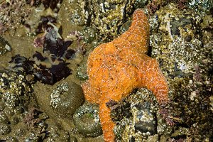 Starfish clinging to rocks