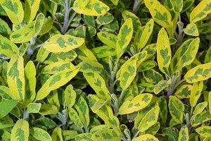 Varigated sage plants