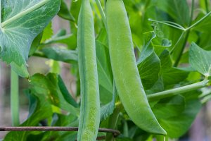Green pea pods on the bush