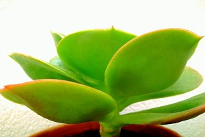 Succulent leaves on white