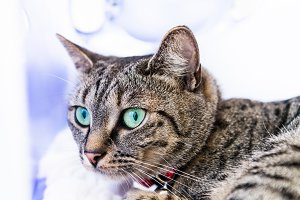 Lean and athletic Bengal Cat with Blue Eyes