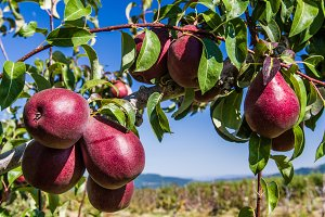 Red pears on tree in orchard