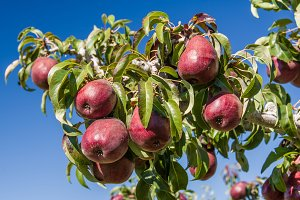 Red pears on tree in pear orchard
