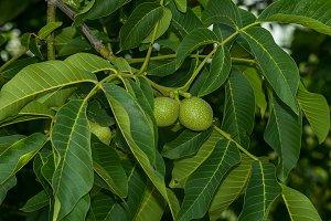 Walnut growing on the tree