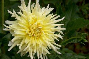 Delicate yellow dahlia