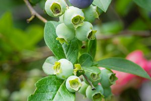 Fresh blueberries on the bush