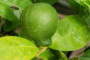 Fresh green lime on tree