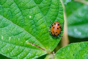 Red lady bug beetles