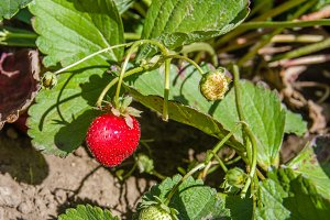 Ripe strawbery in the garden