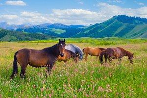 The herd of horses is grazed