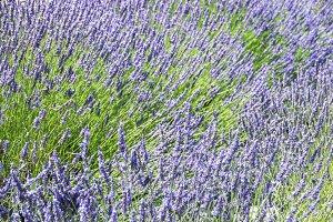 Lavender For Ever
