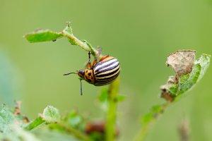Colorado beetle on potato leaf