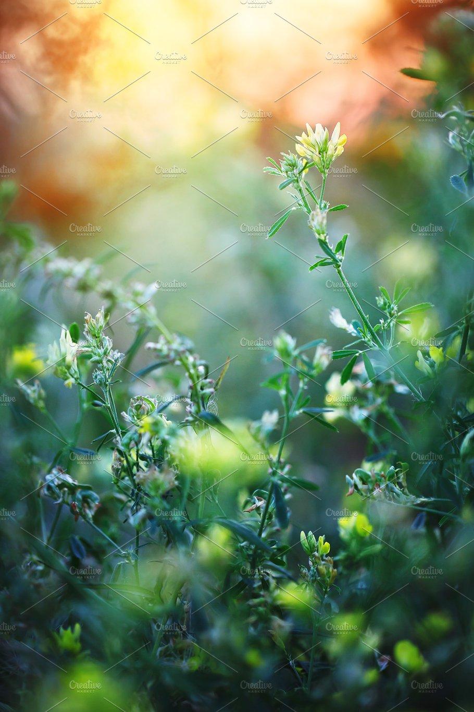 Little Meadow Yellow Flowers Sunset Nature Photos Creative Market