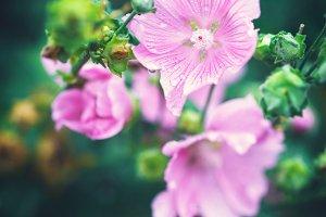 garden pink flowers vintage