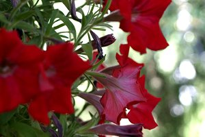 Red petunias hanging