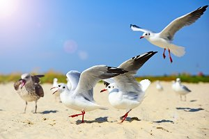 Sea gulls walk and wave their wings