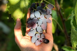Hand holding wine grapes