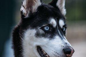 Poses Husky Siberian