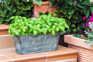 Potted fresh basil outdoors