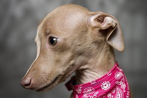 portrait of little italian greyhound