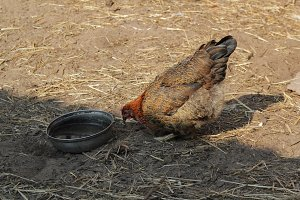 Hen drinks water in country yard - agricultural farm