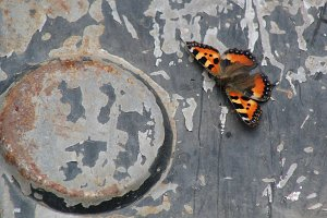 Butterfly on steel background - rusty metal and colorful insect