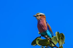 Lilac-breasted roller branch tree top