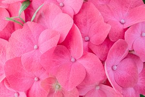 Pink hortensia hydrangea