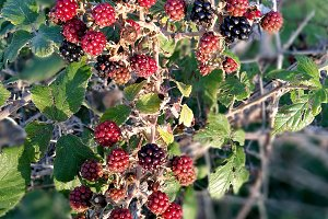 Blackberries on the branch