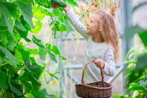 Adorable little girl harvesting in greenhouse. Portrait of kid with the basket