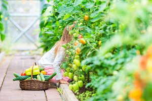 Funny little girl harvesting in greenhouse. Portrait of kid with the big tomato in hands
