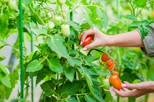 Red tomatoes in greenhouse, Woman cutting off her harvest
