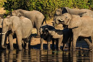 Group and baby elephant drinking Chobe Africa