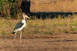 Marabou stork walking riverside Africa