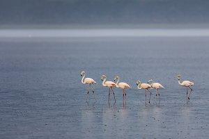 African flamingos walking at Nakuru
