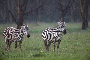 Two zebras in the rain