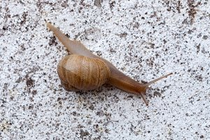 Macro of a brown snail