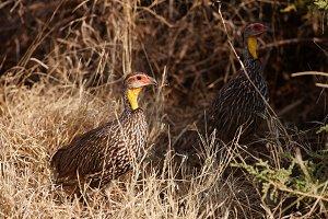 Yellow-necked spurfowls hiding