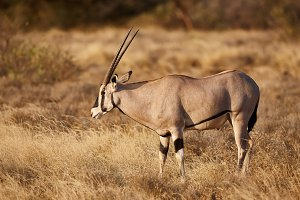 Oryx antelope feeding in dry savanna