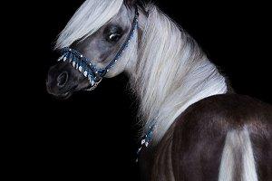 Silver-black American Shetland Pony