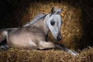 Foal. American Miniature Horse