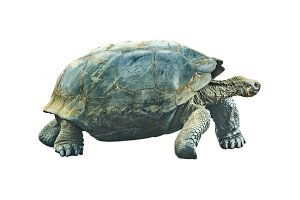 Galapagos Giant Turtle Isolated