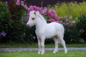 White foal. American Miniature Horse