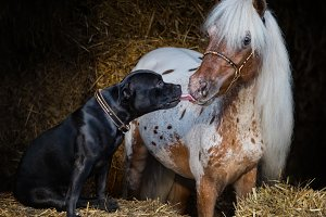 Staffy dog and Miniature Horse