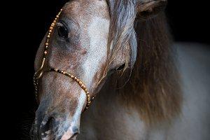 Portrait of American Miniature Horse