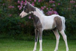 Foal of American Miniature Horse