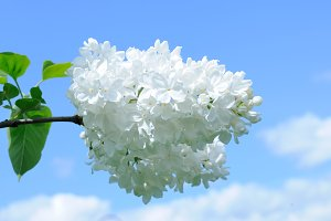 Flowers of white lilac