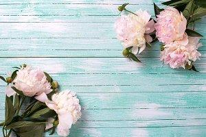 Tender pink peonies flowers