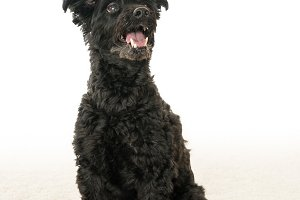 Portrait of black yorkiepoo mix dog