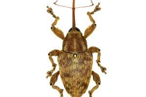 Acorn Nut Weevil